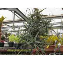 "Tillandsia bergeri ""Big Clumb 10 heads"""
