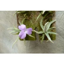 Tillandsia paleacea Mini