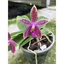 Phalaenopsis Corning's Violet