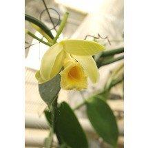 Vanilla planifolia (Green leaves)