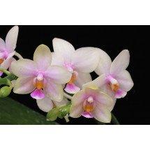 Phalaenopsis Violacea x Timothy Christofher