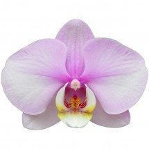 Phalaenopsis Vroni 1  Nr 12280