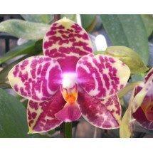 """Phalaenopsis Sogo Lobby """"Dark Type"""" """"Big Plant"""""""