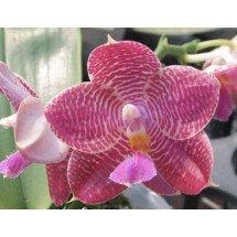 Phalaenopsis Zheng Min Etcing