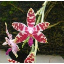 Phalaenopsis mariae ''Big''