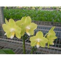 "Phalaenopsis Tzu Chiang Chrisna ""Big"" (White / Light Green Type)"